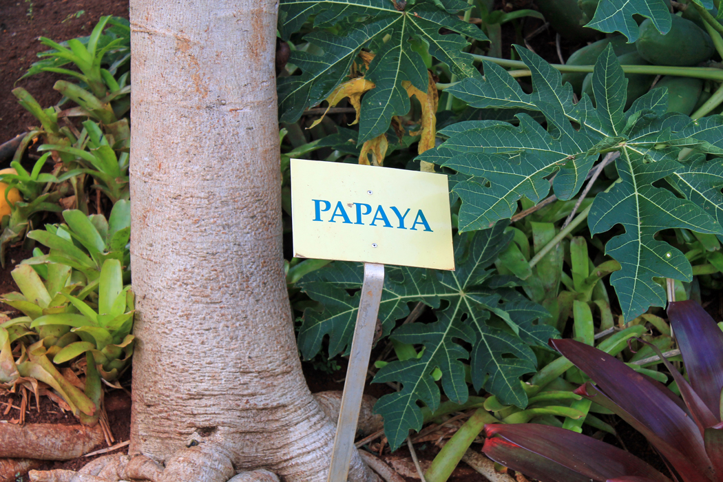 Papayabaum2