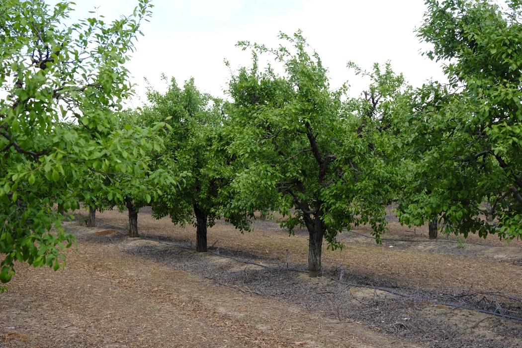 Kalifornische Trockenpflaumen06